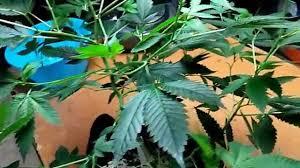 how to grow short bushy marijuana plants without pgr u0027s