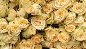 gold roses the meaning of a gold garden guides