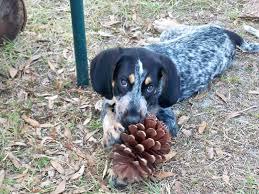bluetick coonhound florida bluetick coonhound puppy doggies pinterest bluetick
