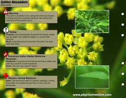 native american plants used for medicine golden alexanders edible medicinal u0026 cautions plight to freedom