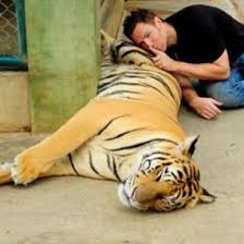 Sorry  daters  NY bill endangers your      tiger selfies        CNET Shhh  Don     t wake the big cat  Tinder Guys with Tigers