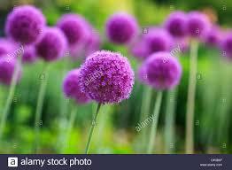 allium flowers purple allium flowers in bloom stock photo royalty free