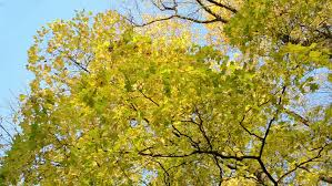 colorful autumn beech leaves on trees with blue sky