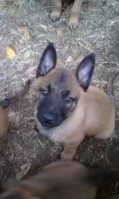 belgian sheepdog clipart belgiun malinois animals pinterest
