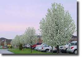 interesting facts about the cleveland pear tree pear varieties