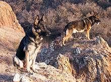affenpinscher vs german shepherd german shepherd