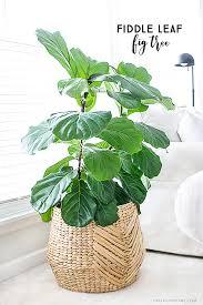 fiddle leaf fig tree low maintenance plants fiddle leaf fig