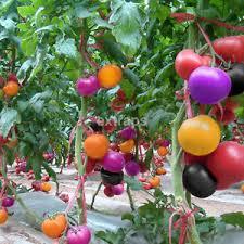 100pcs rainbow colors tomato seeds bonsai organic vegetables seed