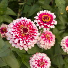 Zinnia Flowers Hidden Dragon Zinnia Seeds
