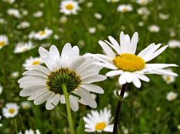oxeye daisy control managing oxeye daisy perennials