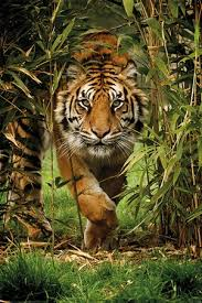 king of the jungle bamboo tiger poster buy