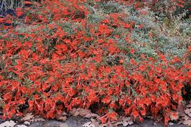 where to buy california native plants california fuchsia u0027s never ending blooms san francisco chronicle