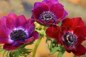 anemones flowers anemone flowers on a colorful background stock photo colourbox