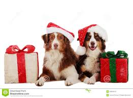 t shirt australian shepherd two australian shepherd dogs on christmas stock photography