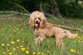 4 dog breeds perfect for house proud owners pets4homes
