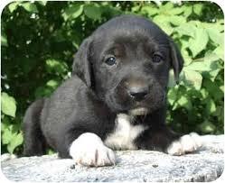 boxer dog utah cat davis adopted puppy provo ut great dane boxer mix