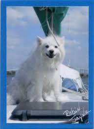 american eskimo dog yahoo více než 25 nejlepších nápadů na pinterestu na téma miniature