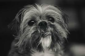 affenpinscher white pet sitter 6 important questions to ask before you engage