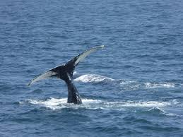 our whale watching trip u2026 our great american adventure