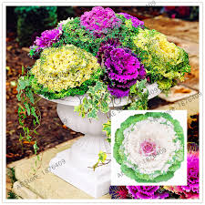 2017 real new flower seeds very easy plant mini garden seeds crown
