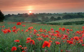 Field Of Poppies Wallpaper WallpaperSafari - Poppy wallpaper home interior