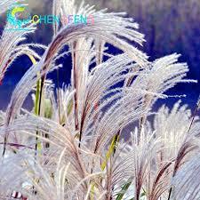 new purple pas grass seeds ornamental plant flowers