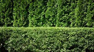 florida native plants pictures plants plant hedges photo plant hedges for privacy best hedges