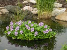 native british pond plants floating flora hyacinth island water garden plants planters