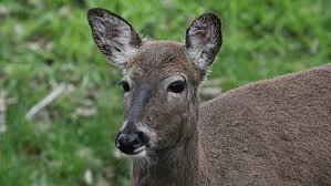 prairie oak ecosystems of the too many deer a bigger threat to eastern forests than climate
