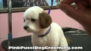 Dog Grooming Styles Haircuts Dog Grooming Maltipoo Ryu Gets A Japanese Style Makeover With