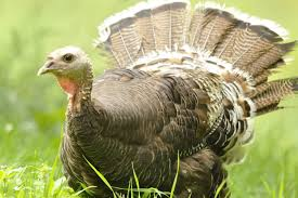 how many turkeys will be eaten on thanksgiving what do turkeys eat foods for wild turkeys