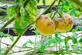 Common Plant Diseases - common diseases of tomato pepper eggplant and potato