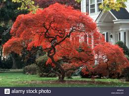 fall foliage japanese maple tree in blazing color traditional