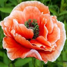orange poppy painting reviews online shopping orange poppy