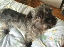 affenpinscher loyalty nyc educator june 2015