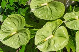anthurium flower anthurium flower meaning flower meaning