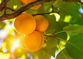 100 cold hardy fruit trees ii fruit crops u2013 part 2