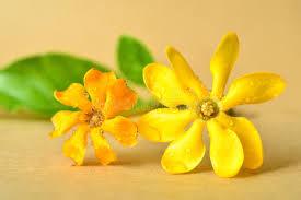 Gardenia Flower Golden Gardenia Flower Stock Photo Image Of Central 56842060