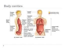 Human Anatomy Planes Of The Body Chapter One The Human Body M C Shamier Md Shenzhou University