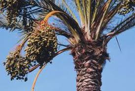 uses of date palm trees home guides sf gate