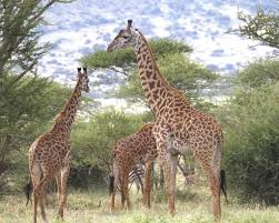 after its height the giraffe is also unique in how it compensates