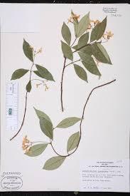Fragrant Plants Florida - trachelospermum jasminoides species page isb atlas of florida