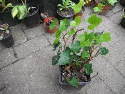 plants for sale english ivy plants green leaves in north london