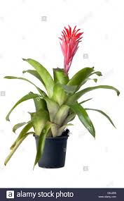 native plant nursery terrey hills bromeliad plant stock photos u0026 bromeliad plant stock images alamy
