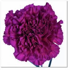purple carnations golem standard carnation carnations flowers by category