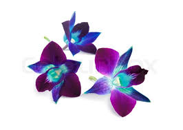 blue and purple orchids purple orchid isolated on a white background stock photo