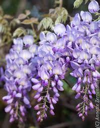 native plant nursery terrey hills wisteria sinensis australian bush flower essence recherche