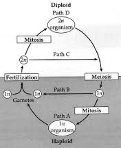 Life Cycle Of A Flowering Plant - life cycle of the flowering plant