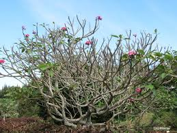 Plumerias A Wandering Botanist Plant Story Fragrant Plumeria Frangipani
