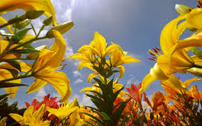 hd images of flowers lily flowers wallpapers for free download 39 lily flowers hdq